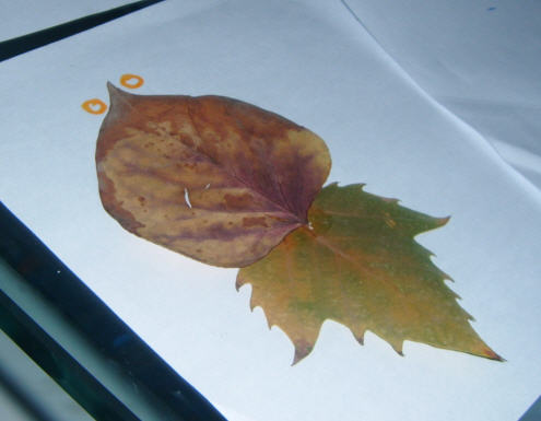 然没有制作树叶贴画但是书里是经常夹树叶标本的,我也让乐儿凑近了