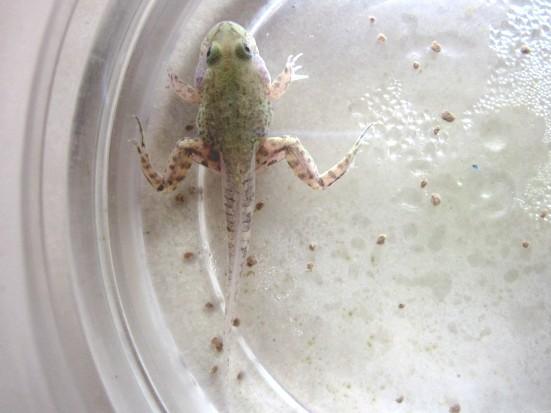 来看看我们家的蝌蚪如何变青蛙+【幸福季】 -